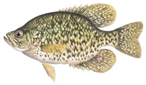 OFAH TackleShare - Black Crappie Fact Sheet