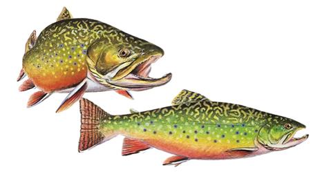 OFAH TackleShare -Brook Trout Fact Sheet