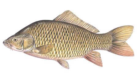 OFAH TackleShare - Common Carp Fact Sheet