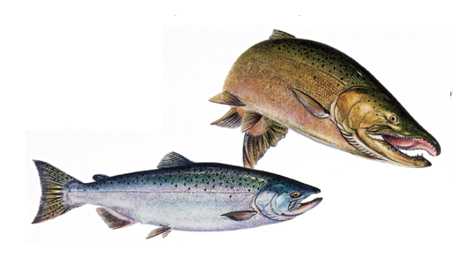 OFAH TackleShare - Chinook Salmon Fact Sheet