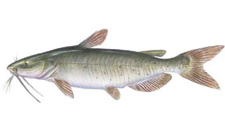 OFAH TackleShare - Channel Catfish Fact Sheet