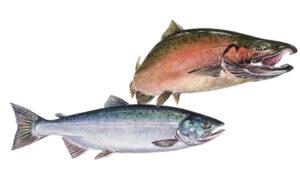 OFAH TackleShare - Coho Salmon Fact Sheet