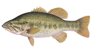 OFAH TackleShare - Largemouth Bass Fact Sheet