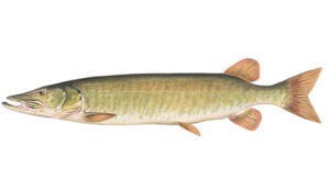 OFAH TackleShare - Muskellunge Fact Sheet