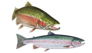 OFAH TackleShare - Rainbow Trout Sheet