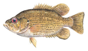 OFAH TackleShare - Rock Bass Fact Sheet