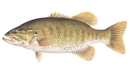 OFAH TackleShare - Smallmouth Bass Fact Sheet