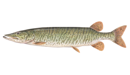 OFAH TackleShare - Tiger Muskellunge Fact Sheet
