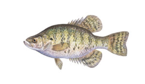 OFAH TackleShare - White Crappie Fact Sheet