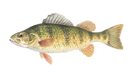 OFAH TackleShare - Yellow Perch Fact Sheet